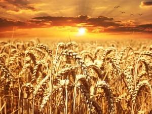 """Seit ich William Davis """"Weizenwampe"""" als Hörbuch genossen habe, verzichte ich weitgehend auf Weizen."""
