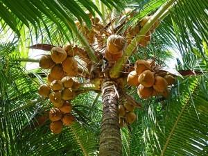 Kokosblütenzucker wird aus dem Nektar der Kokospalme hergestellt. Schneidet man die Blütenknospe der Kokospalme an, tritt dort ein Saft aus, welcher als Kokosnektar bezeichnet wird.