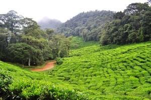 Grüner Tee beinhaltet Stoffe, die antiviral wirken.