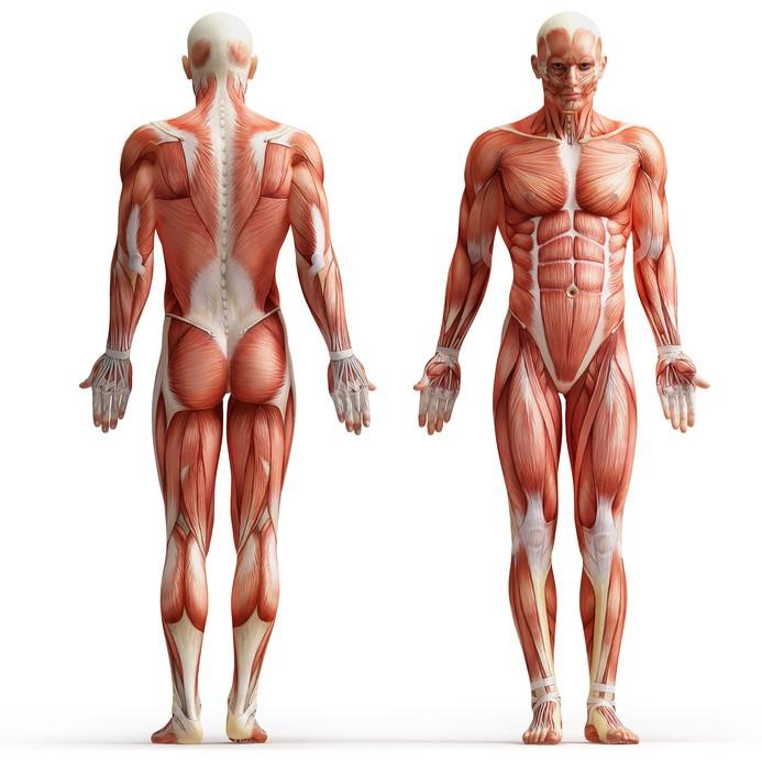 Alllgemeine Anatomie - Überblick - 4yourfitness.com