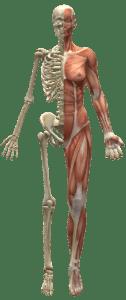 Schematische Darstellung der Muskulatur und des Skeletts
