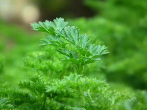 Petersilie ist ein Top Nährstofflieferant und schmeckt viel besser als Algen.