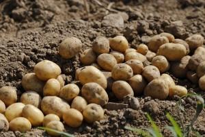 Die Kartoffel (auch als Erdapfel oder Grundbirne bekannt ;-)