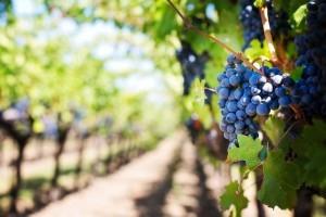 Weingärten soweit das Auge reicht. Aber Vorsicht: Oft werden die Trauben mit Pestiziden gespritzt, daher unbedingt waschen oder am besten gleich zu Bio-Qualität greifen.