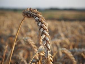 Der Weizen: Zurecht verteufelt oder missverstanden? Was denkst du?