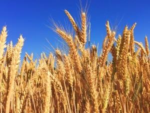 Auf hochgezüchteten Weizen weitestgehend zu verzichten, ist eine gute Idee.